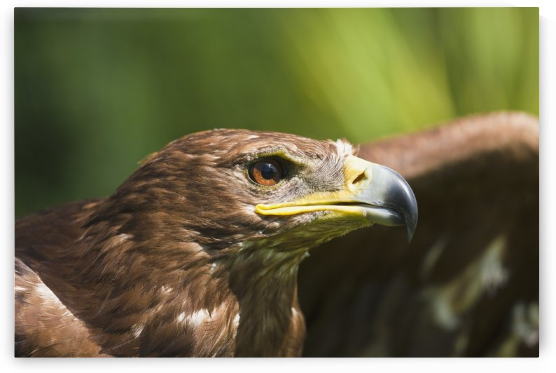 The Head Of An Eagle; Windermere, Cumbria, England by PacificStock
