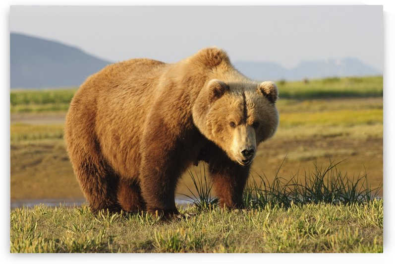 A Brown Grizzly Bear (Ursus Arctos Horribilis); Alaska, United States Of America by PacificStock