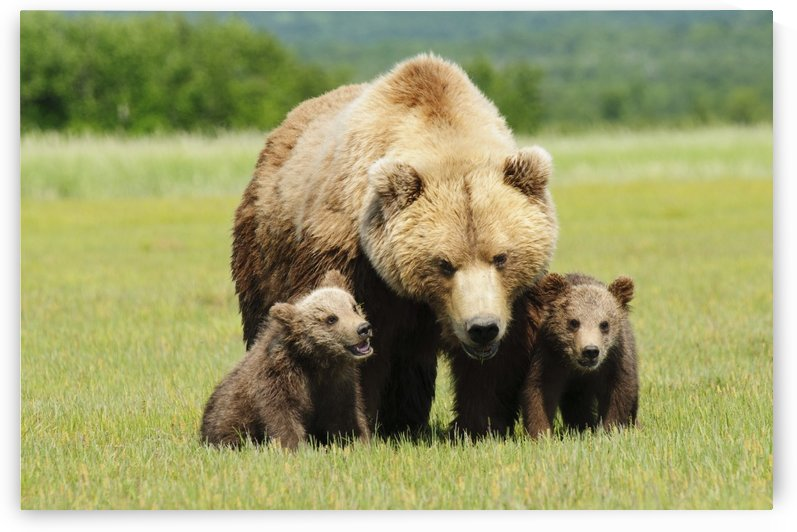 A Brown Grizzly Bear (Ursus Arctos Horribilis) With Cubs; Alaska, United States Of America by PacificStock