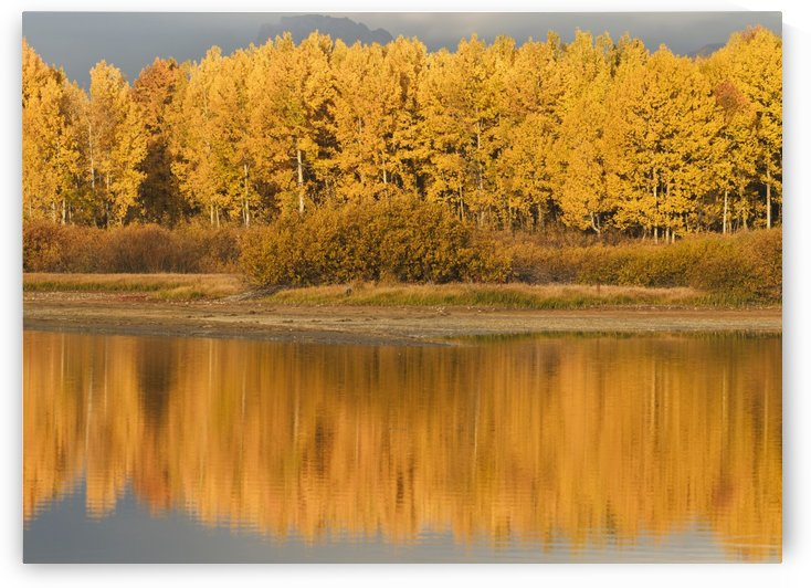 Autumn Aspens Reflected In Snake River; Wyoming, United States Of America by PacificStock