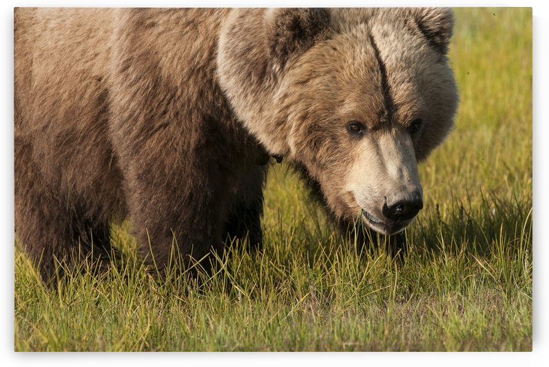 A Grizzly Bear (Ursus Arctos Horribilis); Alaska, United States Of America by PacificStock