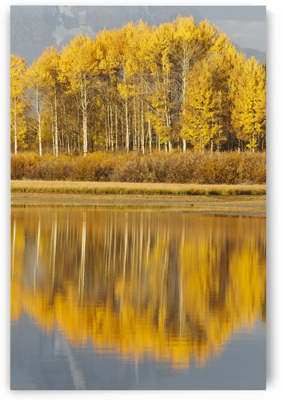 Aspens Reflected In A Pool In The Snake River In Autumn; Wyoming, United States Of America by PacificStock