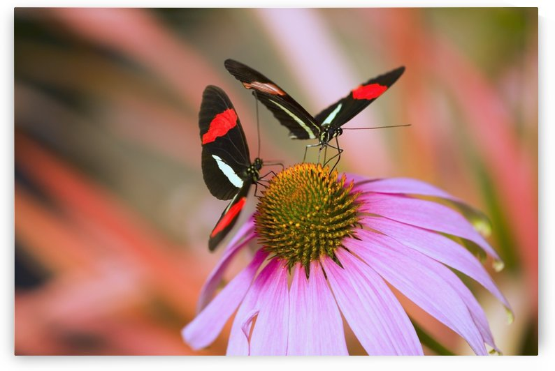Two Colorful Butterflies On Cone Flower Blossom In Spring; Oregon, Usa by PacificStock