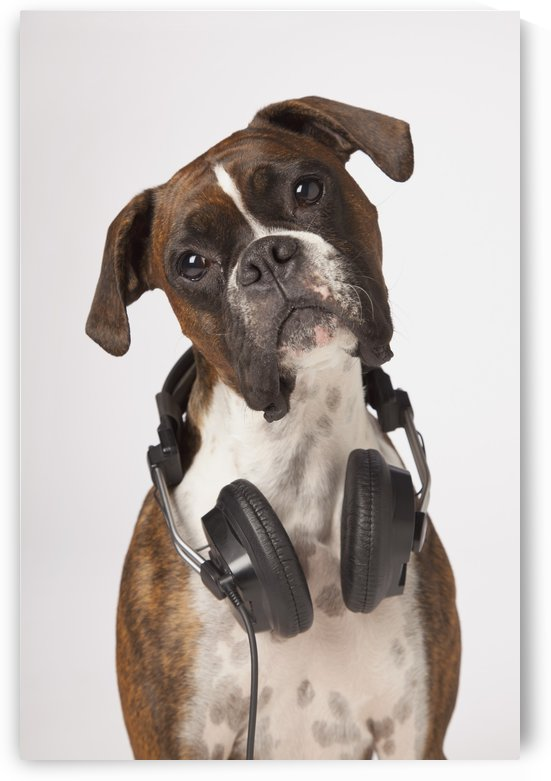 Boxer Dog With Headphones by PacificStock