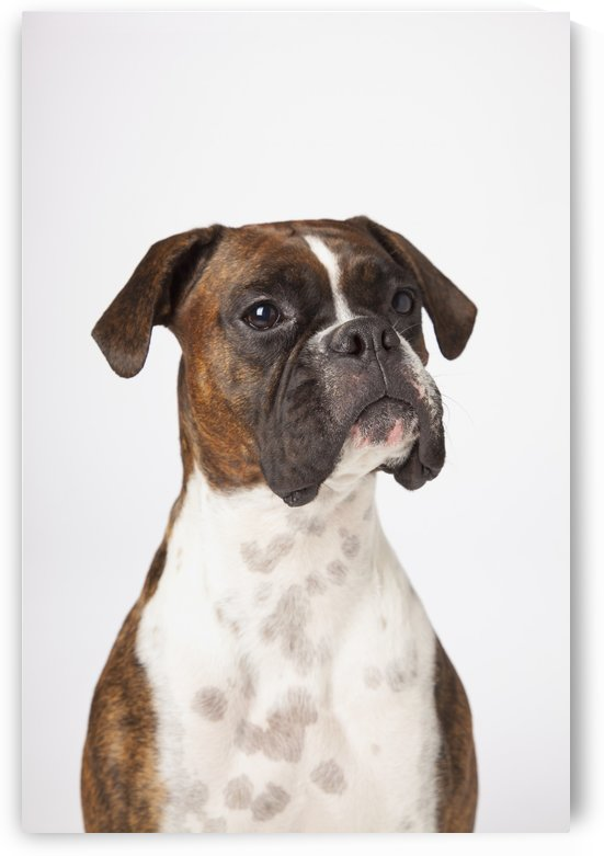 Portrait Of Boxer Dog On White Background by PacificStock