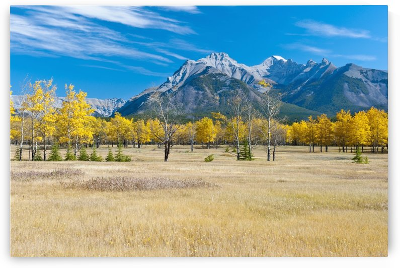 Aspens In A Meadow In Banff National Park; Banff, Alberta, Canada by PacificStock