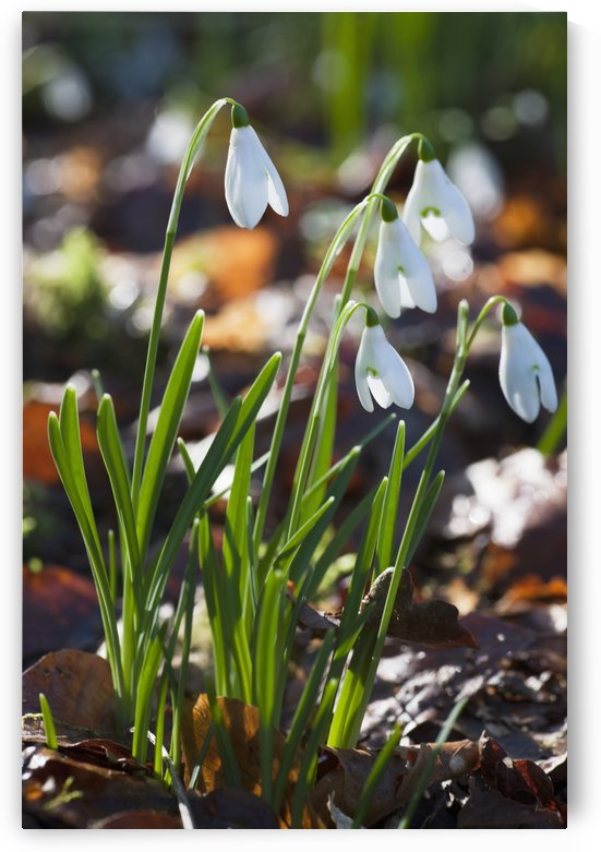 White Flowers Drooping; Dumfries, Scotland by PacificStock