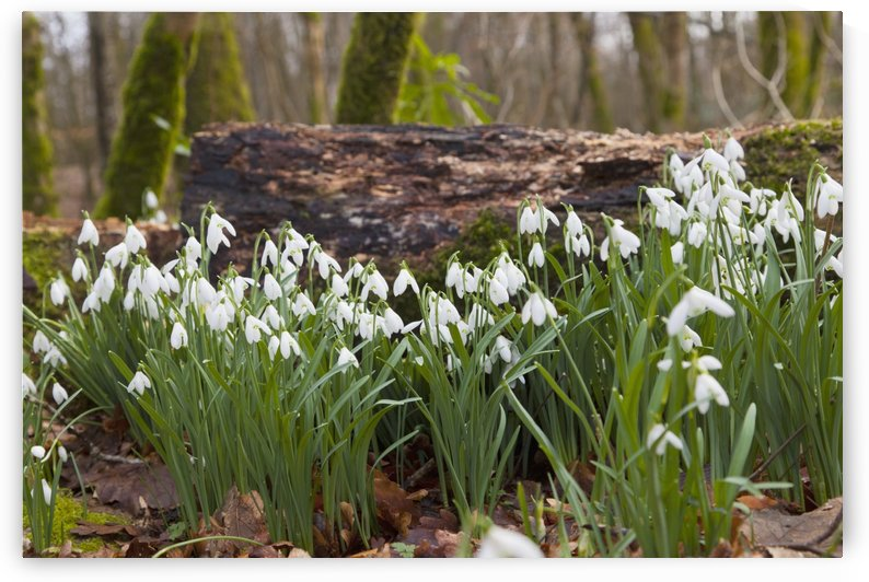 White Flowers Growing On A Forest Floor Beside A Fallen Tree; Dumfries, Scotland by PacificStock