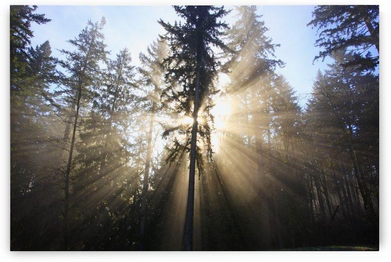 Sun Shining Through Morning Fog And Trees; Happy Valley, Oregon, United States Of America by PacificStock