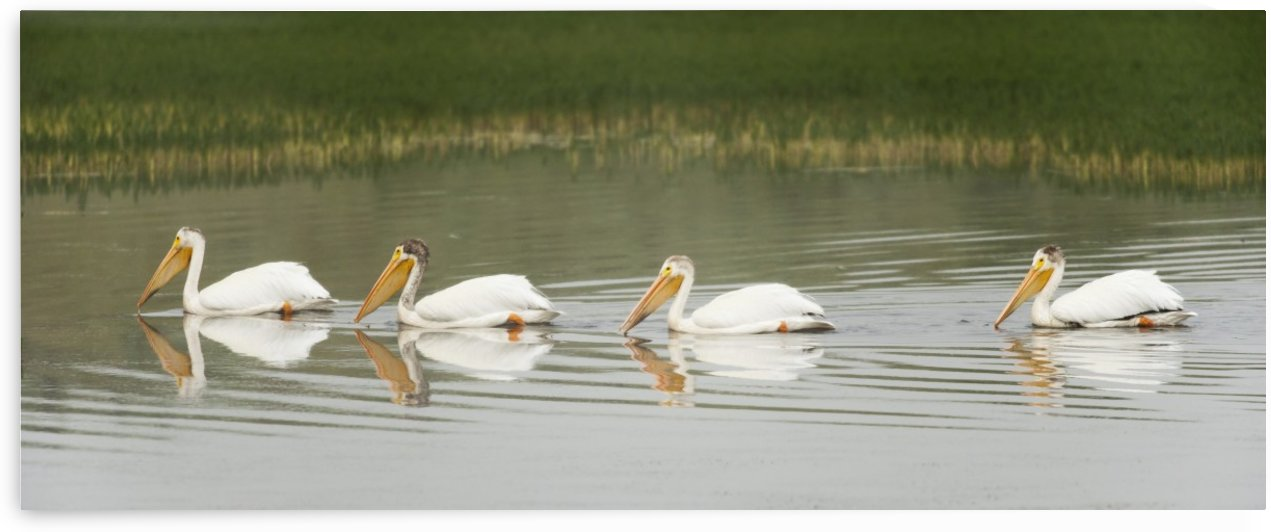 American White Pelicans Swim In A Line On The Yellowstone River; Wyoming, Usa by PacificStock