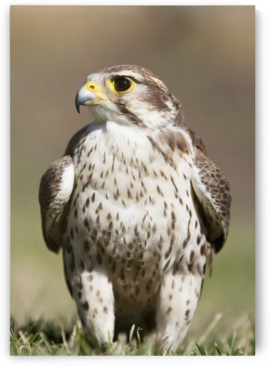 Prairie Falcon Perches On The Ground Briefly After A Hunt; Montana, United States Of America by PacificStock