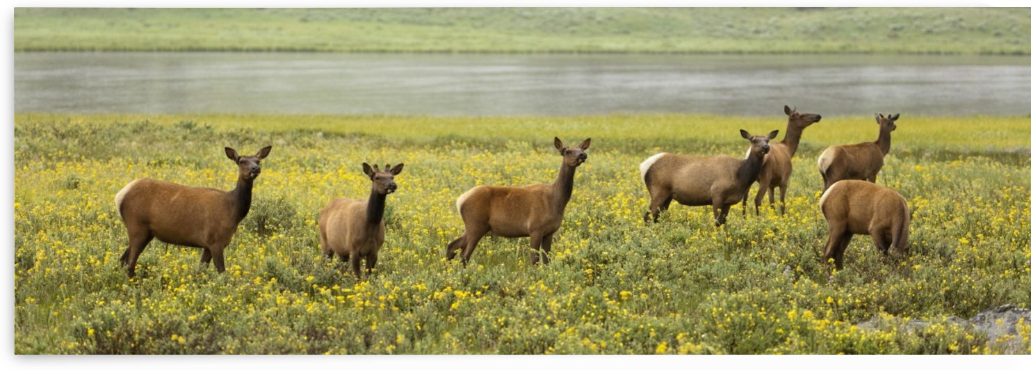 Elk (Cervus Canadensis) Herd In Wildflowers Along The Gardiner River, Yellowstone National Park; Wyoming, United States Of America by PacificStock