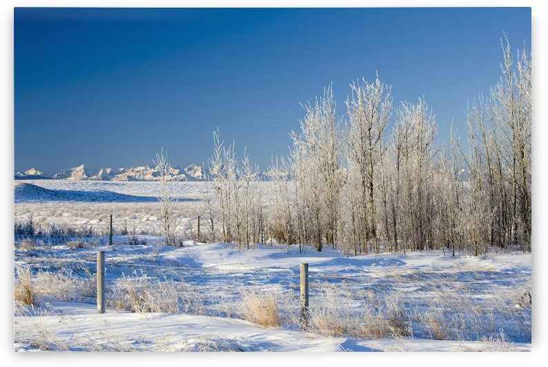 Frost-Covered Trees In Snowy Field; Cochrane, Alberta, Canada by PacificStock