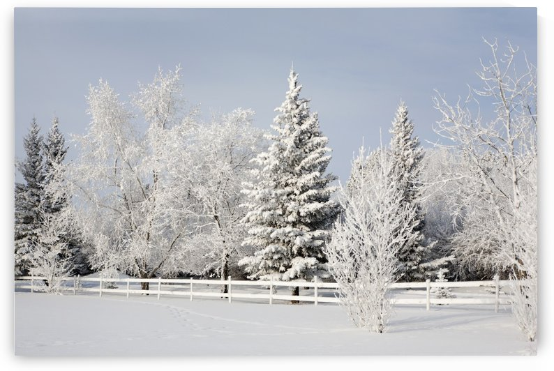 Trees Covered With Snow And Frost; Calgary, Alberta, Canada by PacificStock