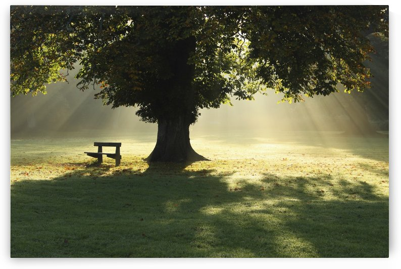 Lone Tree In Mist And Sunlight; Cahir, County Tipperary, Ireland by PacificStock