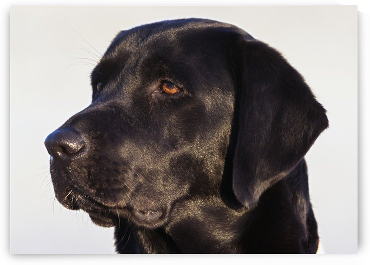 Close-Up Of Black Labrador Retriever by PacificStock