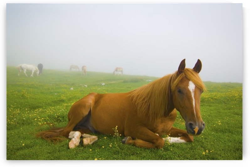 A Horse Sitting On The Grass In A Pasture; Veneto Italy by PacificStock