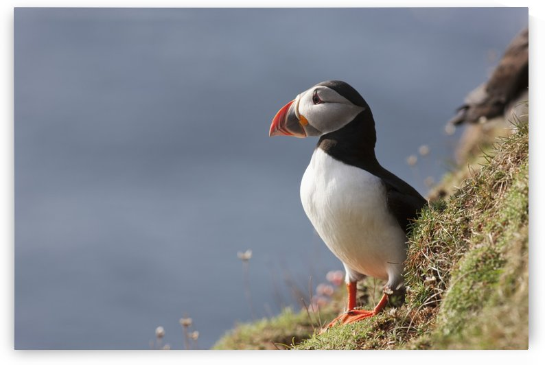 A Puffin Standing On A Steep Slope By The Water; Shetland, Scotland by PacificStock