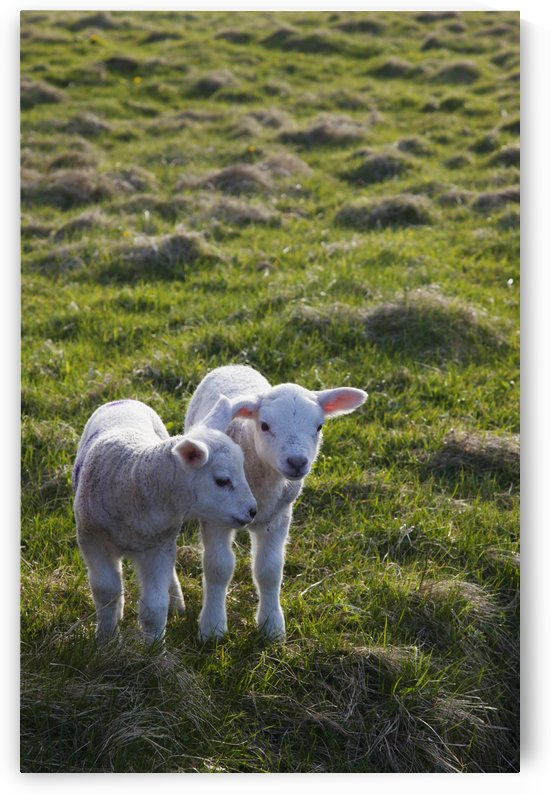 Two Lambs Side By Side On The Grass; Shetland, Scotland by PacificStock