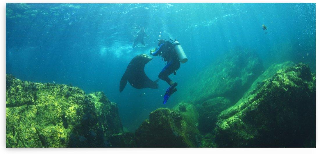 Scuba Divers With Sea Lions Underwater At Los Islotes National Marine Park Espiritu Santo Island; La Paz Baja California Mexico by PacificStock