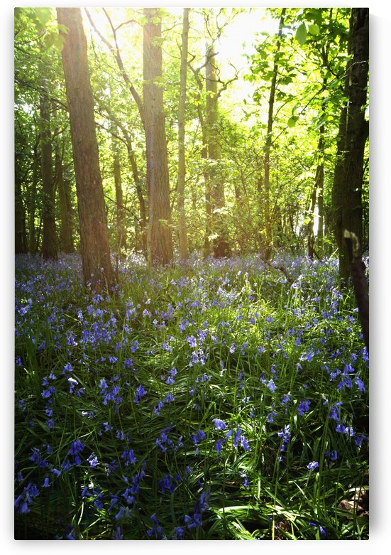 Bluebells Growing On A Forest Floor; Northumberland, England by PacificStock