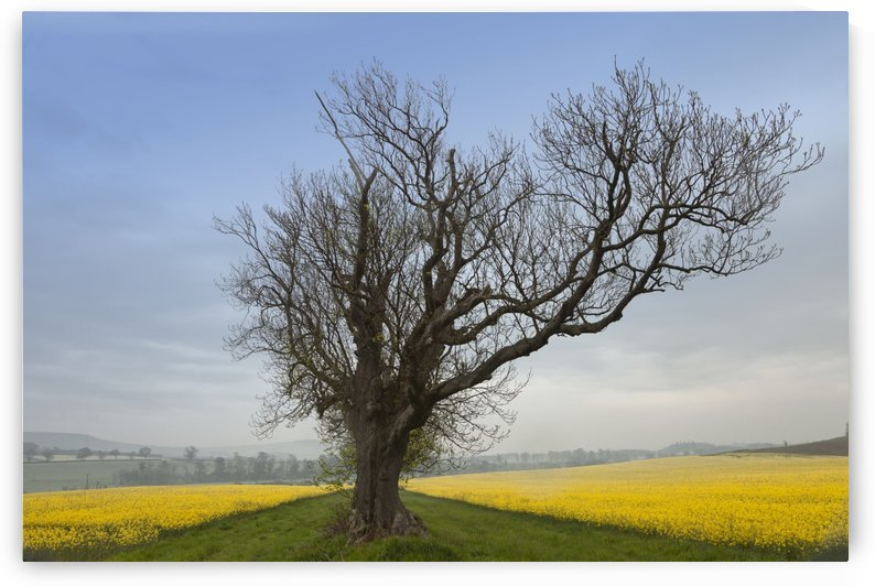 A Lone Tree On The Edge Of A Yellow Field; Northumberland, England by PacificStock