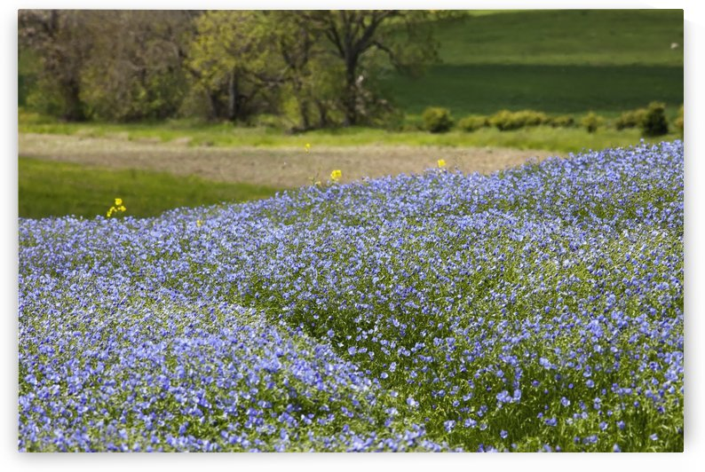 A Field Of Blue Wildflowers; Northumberland, England by PacificStock