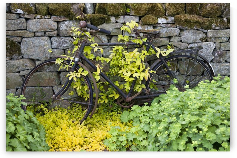 An abandoned bicycle surrounded and covered in foliage;Northumberland england by PacificStock