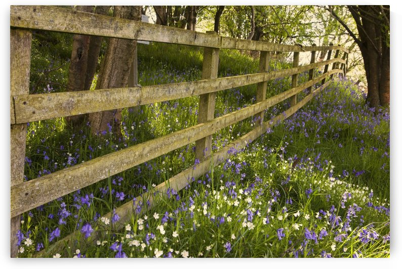 A Wooden Fence In A Forested Area With Blue And White Wildflowers On The Ground; Northumberland, England by PacificStock