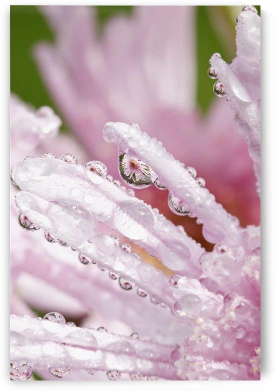 Flower Petals With Raindrops; Portland, Oregon, United States of America by PacificStock