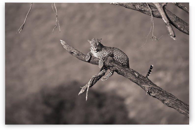 Leopard (Panthera Pardus) In A Tree; Samburu, Kenya by PacificStock