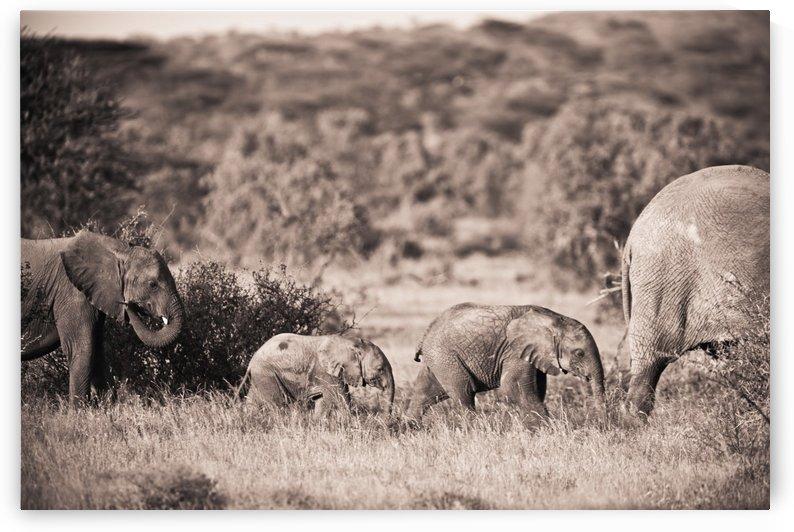 Elephants Walking In A Row; Samburu, Kenya by PacificStock