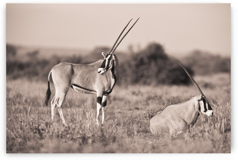 Two Antelopes In A Field; Samburu, Kenya by PacificStock