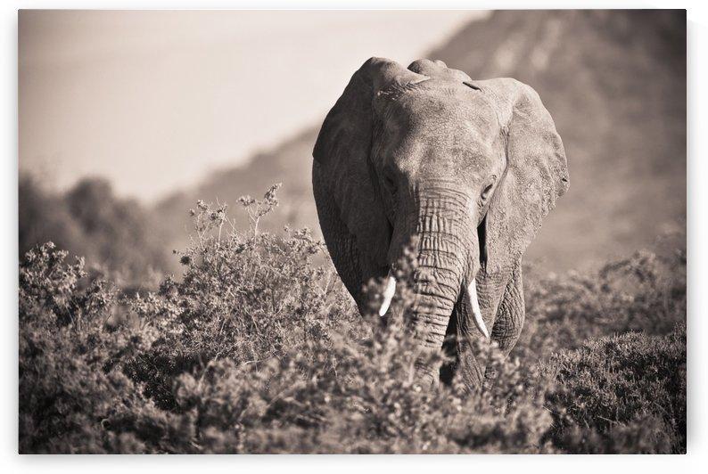 An Elephant Walking In The Bush; Samburu, Kenya by PacificStock