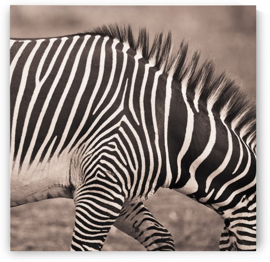 Close-Up Of A Zebra; Kenya by PacificStock