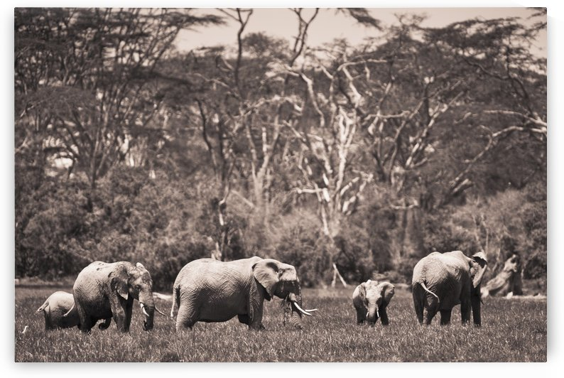 A Group Of Elephants; Kenya by PacificStock