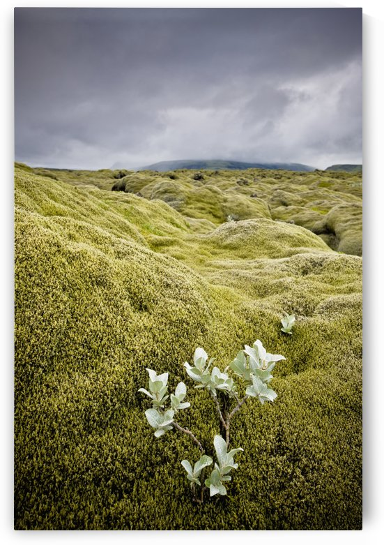 A White Wildflower Growing On A Rugged Landscape; Iceland by PacificStock