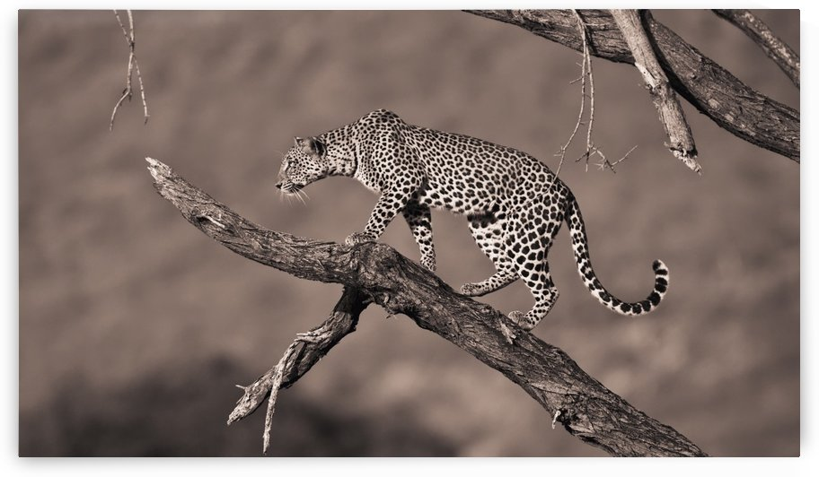 A Leopard (Panthera Pardus) In A Tree; Samburu, Kenya by PacificStock