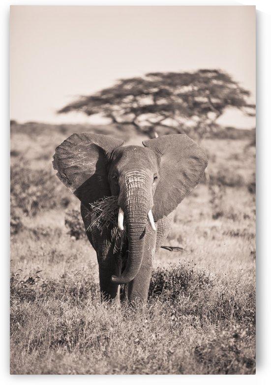 An Elephant Carrying Long Grass In It's Mouth; Samburu, Kenya by PacificStock