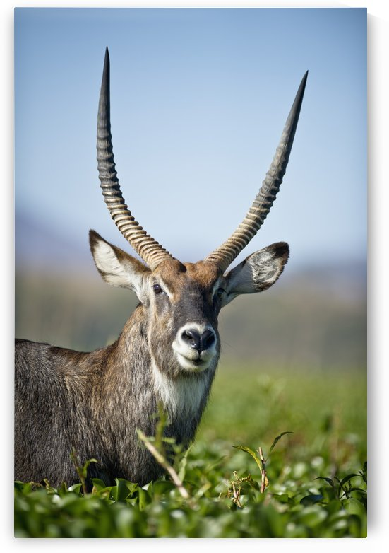 An Antelope Standing Amongst Tall Plants; Kenya by PacificStock
