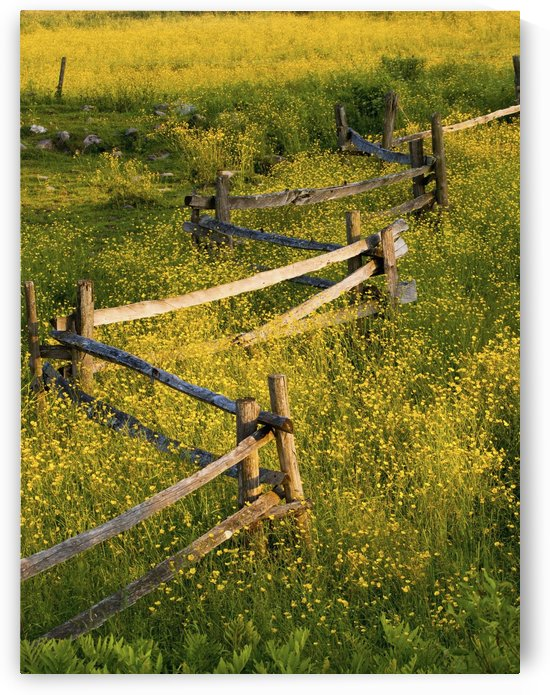 A Wooden Rail Fence Surrounded By Yellow Wildflowers; Fulford, Quebec, Canada by PacificStock