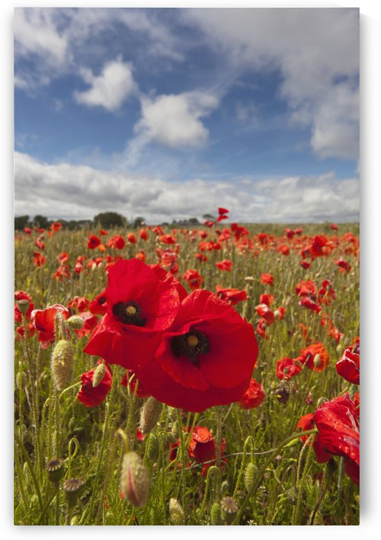 An Abundance Of Red Poppies In A Field; Northumberland, England by PacificStock