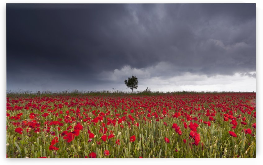 A Field Of Red Poppies Under A Stormy Sky; Northumberland, England by PacificStock