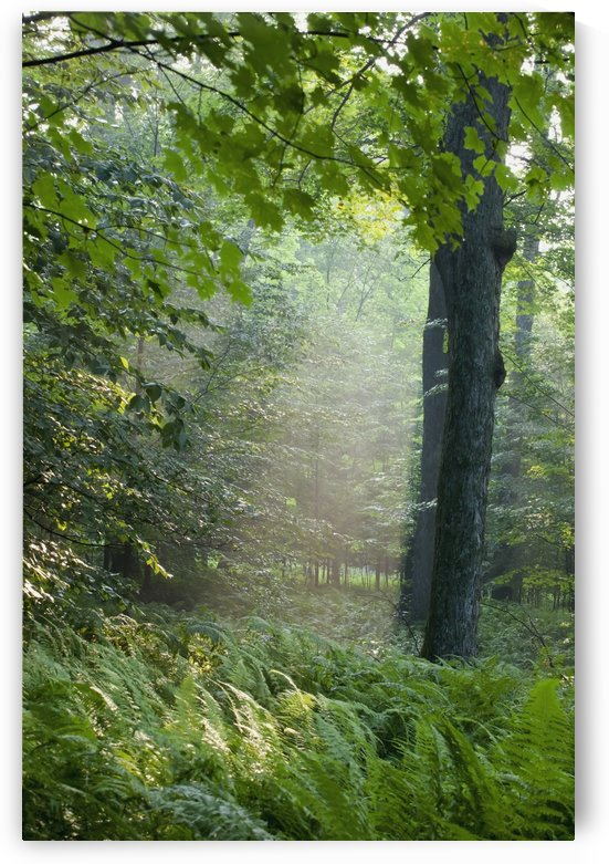Trees In The Woods In The Early Morning Fog; Iron Hill, Quebec, Canada by PacificStock