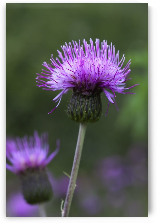 A Purple Flower; Northumberland, England by PacificStock