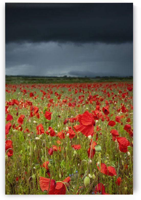 An Abundance Of Poppies In A Field Under A Stormy Sky; Northumberland, England by PacificStock