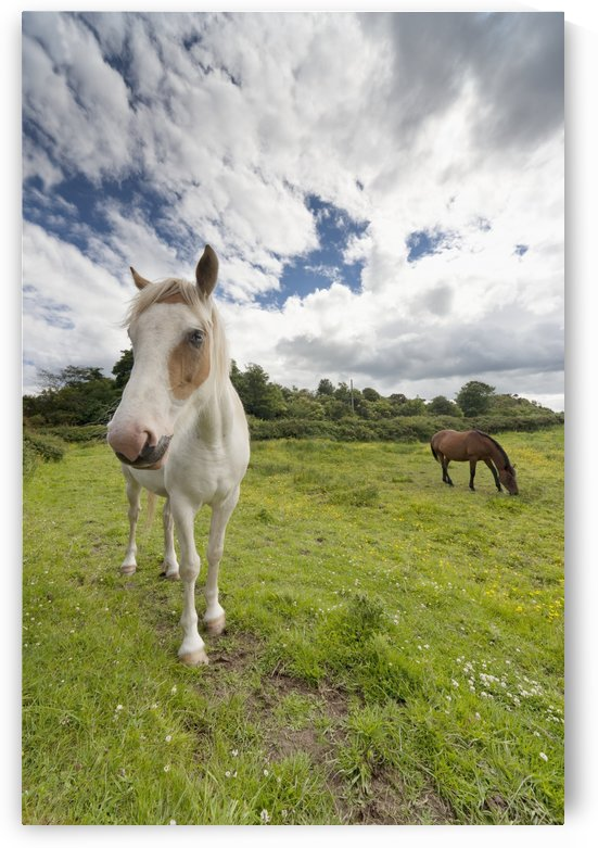 Horses Grazing In A Field; Northumberland, England by PacificStock