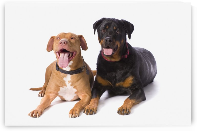 A Pitbull And A Rotweiller On A White Studio Background; St. Albert, Alberta, Canada by PacificStock