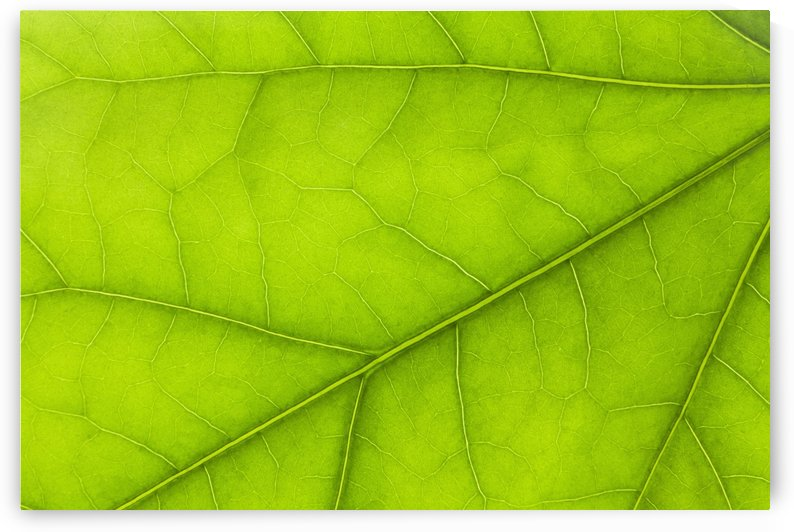 Close Up Details Of A Green Leaf; Thunder Bay, Ontario, Canada by PacificStock
