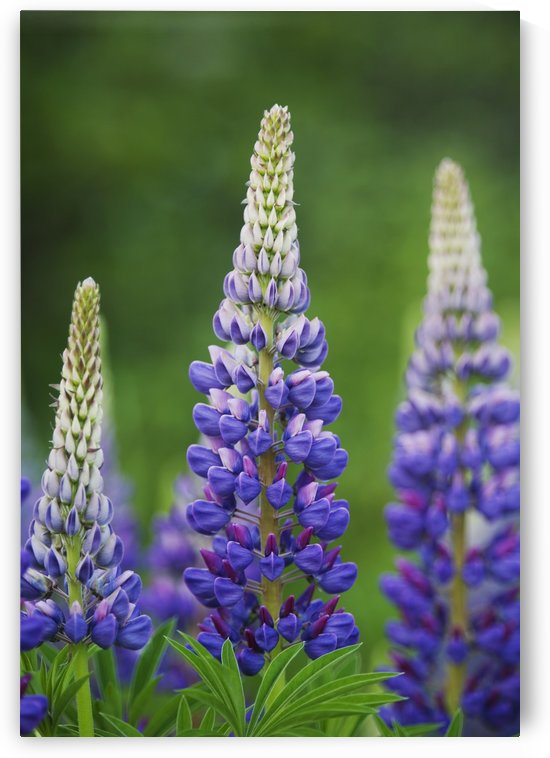 Budding Purple Lupines; Thunder Bay, Ontario, Canada by PacificStock